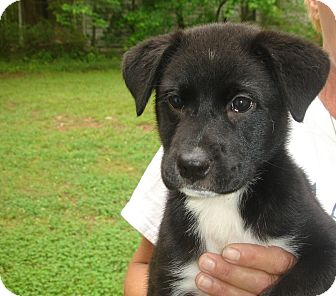 Sassy Adopted Puppy Old Bridge Nj Border Collie
