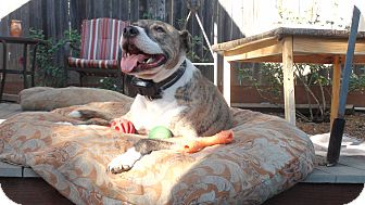 American Pit Bull Terrier Mix Dog for adoption in Grass Valley, California - Charlie