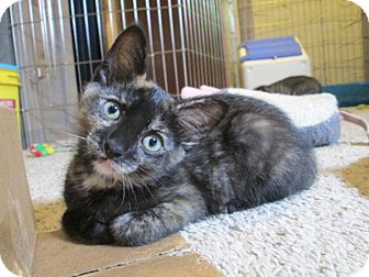 Domestic Shorthair Kitten for adoption in Richland, Michigan - Annie
