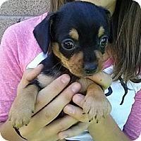 Adopt A Pet :: pup2 - Mesa, AZ