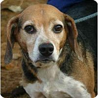 Adopt A Pet :: Macy - Portland, OR