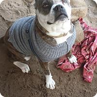 Adopt A Pet :: Labby - Fowler, CA