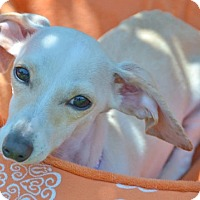 Adopt A Pet :: Bella (Doxie mix) - Bellflower, CA