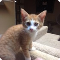 Adopt A Pet :: Maple! - Bridgeton, MO