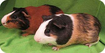 Guinea Pig for adoption in Steger, Illinois - Spearow