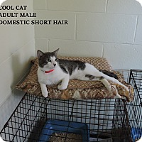 Domestic Shorthair Cat for adoption in Washington, Georgia - Cool Cat