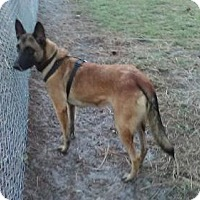 Belgian Malinois Dog for adoption in Lithia, Florida - Penny