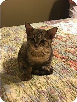 Domestic Shorthair Kitten for adoption in Schertz, Texas - Frankie RO
