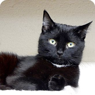 Domestic Shorthair Cat for adoption in Long Beach, New York - Jack