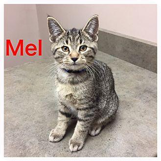 Domestic Shorthair Kitten for adoption in Woodstock, Ontario - Mel