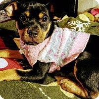 Adopt A Pet :: Maize - Detroit, MI