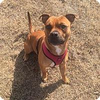Adopt A Pet :: SCARLETT - Silver Spring, MD