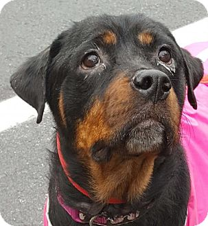 Rottweiler Dog for adoption in Hillsboro, New Hampshire - Mia