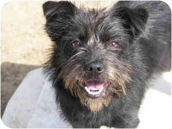 Savannah | Adopted Dog | Ripley, OH | Scottie, Scottish ...