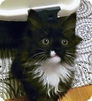 Domestic Longhair Kitten for adoption in Irvine, California - Shelby