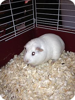 Guinea Pig for adoption in Lower Burrell, Pennsylvania - Princess Bella