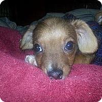 Adopt A Pet :: Ren - East Rockaway, NY