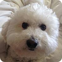 Adopt A Pet :: Lacey - La Costa, CA