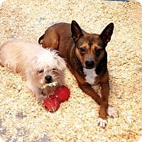Adopt A Pet :: Shiba Inu & Cairn mix brother - Pompton lakes, NJ