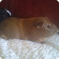 Adopt A Pet :: Brownie - San Antonio, TX