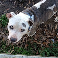 American Bulldog/American Pit Bull Terrier Mix Dog for adoption in Demopolis, Alabama - Champ