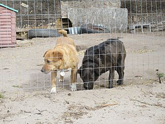 Australian Terrier/Cattle Dog Mix Dog for adoption in Pie Town, New Mexico - Shelby and Geneva