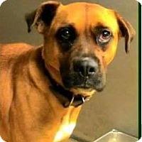 Adopt A Pet :: Snickers - Woodinville, WA
