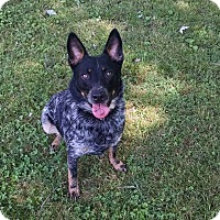 Adopt A Pet :: McGyver - Great Falls, VA