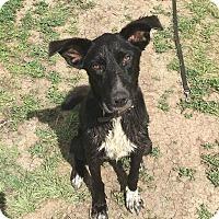 Adopt A Pet :: Lola - Alamosa, CO