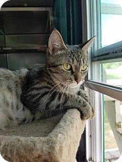 Domestic Shorthair Cat for adoption in Monroe, Michigan - Angel