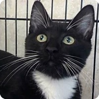 Domestic Shorthair Cat for adoption in Tyler, Texas - AA-Ashton