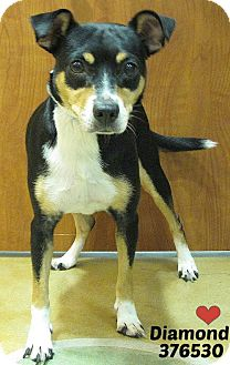 Jack Russell Terrier/Rat Terrier Mix Dog for adoption in San Antonio, Texas - 376530 Diamond