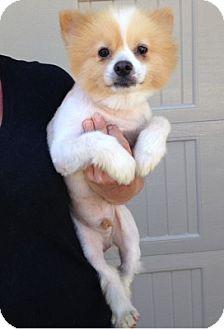 Pomeranian Dog for adoption in Temecula, California - Princeton