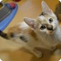 Domestic Shorthair Cat for adoption in Midland, Virginia - Houston