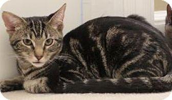 Domestic Shorthair Kitten for adoption in Columbus, Ohio - Tizzy
