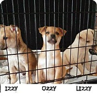 Adopt A Pet :: Izzy - Danbury, CT