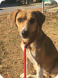 Beagle Mix Dog for adoption in Hopkinton, Massachusetts - Tupelo Honey