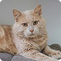 Domestic Mediumhair Cat for adoption in Merrifield, Virginia - Giblet