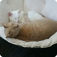 Adopt A Pet :: Declaws need home 2gether - Glen cove, NY