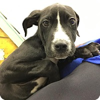 Adopt A Pet :: Tank - Lafayette, NJ