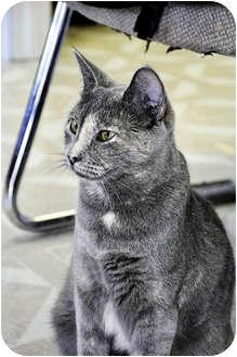 Domestic Shorthair Cat for adoption in Chesapeake, Virginia - Freida