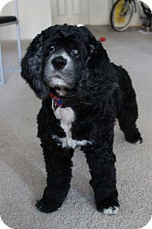 Cocker Spaniel Dog for adoption in Gainesville, Florida - Sassy