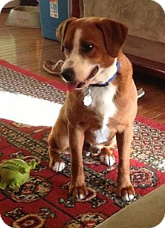 Beagle Mix Dog for adoption in Staunton, Virginia - Beethoven (REDUCED)