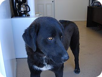Chesapeake Bay Retriever/Labrador Retriever Mix Dog for adoption in Beaver, Utah - Rocco