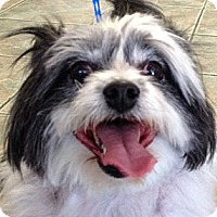 Adopt A Pet :: Polly - Canoga Park, CA