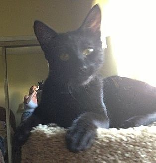 Oriental Cat for adoption in Woodland Hills, California - INC