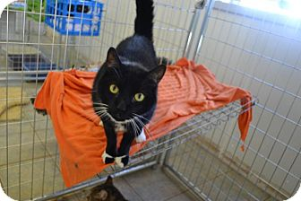 Domestic Shorthair Cat for adoption in East Smithfield, Pennsylvania - Noah K