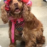 Adopt A Pet :: Zoey-Adoption Pending - Sacramento, CA