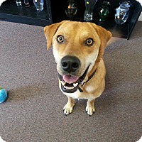 Labrador Retriever Mix Dog for adoption in Waxhaw, North Carolina - Gator