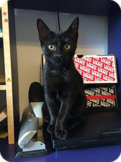 Domestic Shorthair Kitten for adoption in Baltimore, Maryland - .Midnight